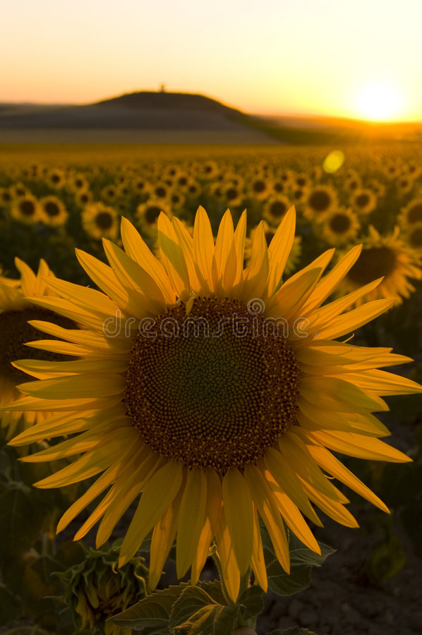 Download Sunflower field at sunset stock photo. Image of outdoor - 2997674