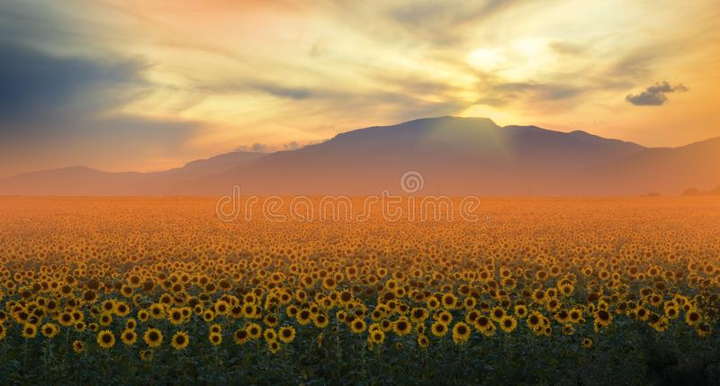 Sunflower field,sunset.Beautiful Orange Nature Background.Artistic Wallpaper.Art Photography.Agricultural Landscape.Sky,clouds,sun stock photography