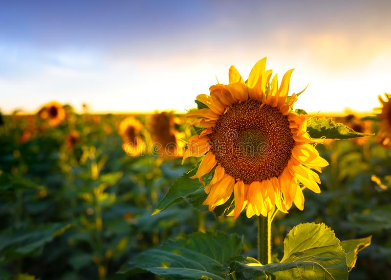 Sunflower at Sunset in a Field. Sunflower field at sunset. They are bright, yellow and a lot are visible in the field. The sun is setting in the distance royalty free stock photos