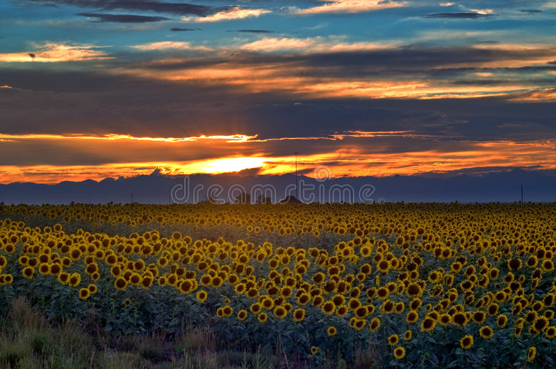 Download Sunflower Field At Sunset In Colorado Stock Photo - Image: 8392750