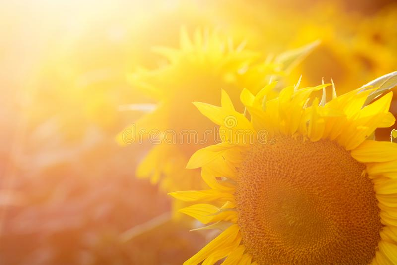 Sunflower field at sunset. Filtered Instagram effect.  royalty free stock images
