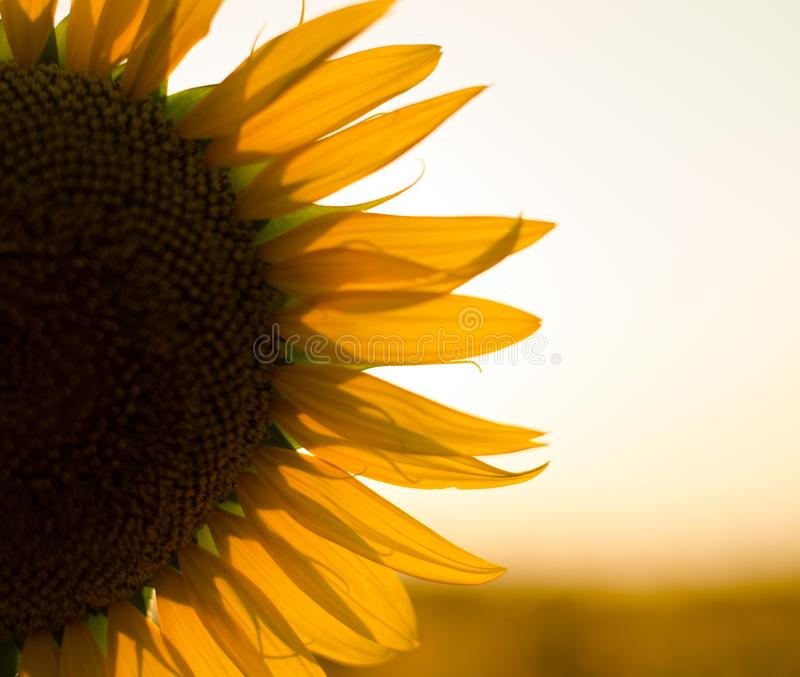 Sunflower field at sunset. Filtered Instagram effect.  royalty free stock image