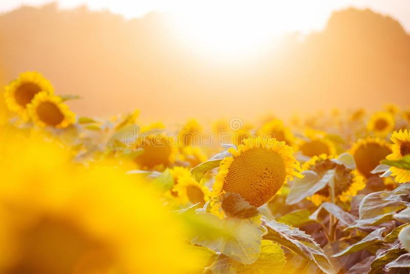 Sunflower field at sunset. Filtered Instagram effect.  stock image