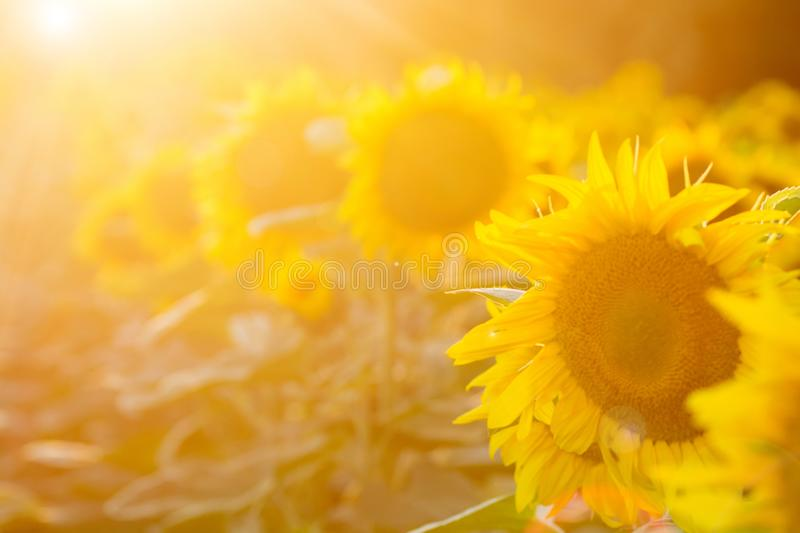 Sunflower field at sunset. Filtered Instagram effect.  royalty free stock photography