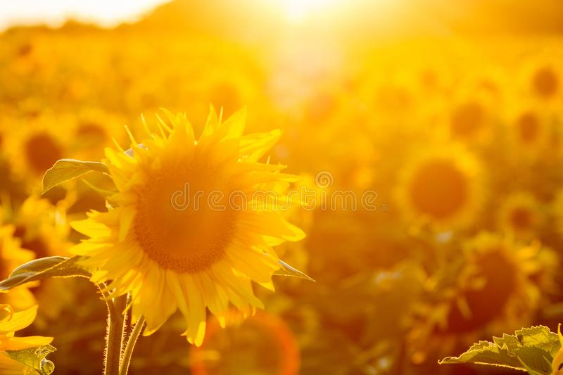 Sunflower field at sunset. Filtered Instagram effect.  royalty free stock photo