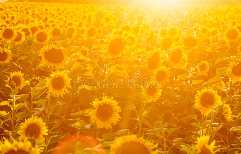 Sunflower field at sunset. Filtered Instagram effect.  royalty free stock photos