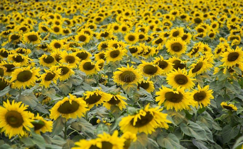 Sunflower field of TH true milk factory. In Nghia Dan, Nghe An, Vietnam stock photo