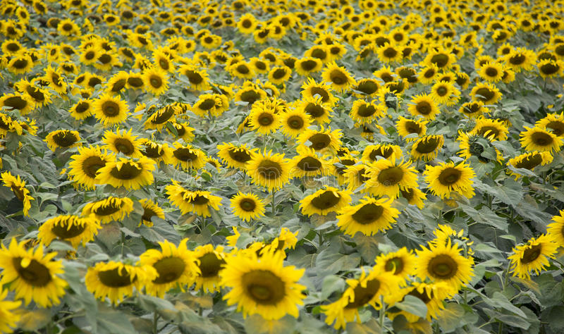 Sunflower field of TH true milk factory. In Nghia Dan, Nghe An, Vietnam stock photography