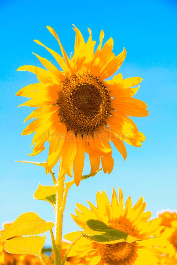 Sunflower field in thailand stock images