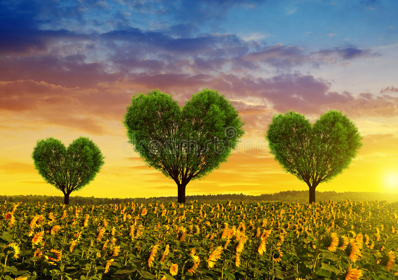Sunflower field with trees in the shape of heart at sunset. stock image