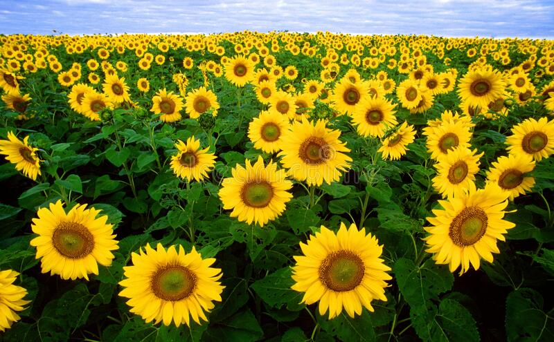 Sunflower Field Under Blue Sunny Sky Free Public Domain Cc0 Image
