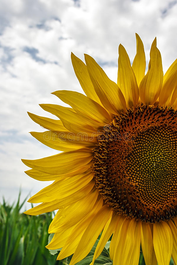 Download Sunflower 7 stock image. Image of colorful, background - 31951077