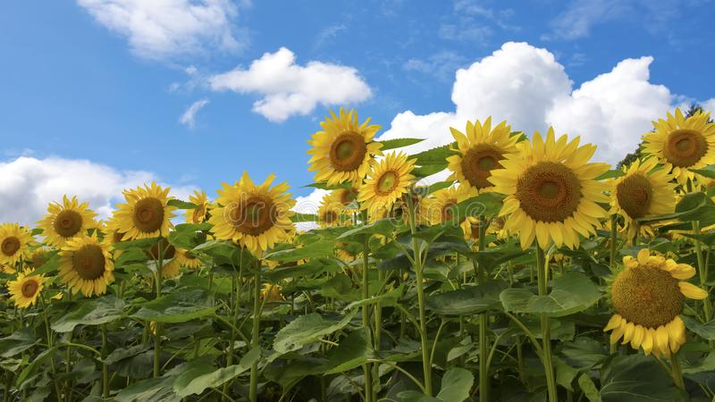 Download Sunflower Field Wallpaper Stock Image Of Hokkaido