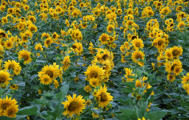 Sunflower field, yellow flower at Da Lat. Beautiful landscape at Dalat countryside with sunflower field, yellow flower bloom vibrant, a beautiful place for Da stock image