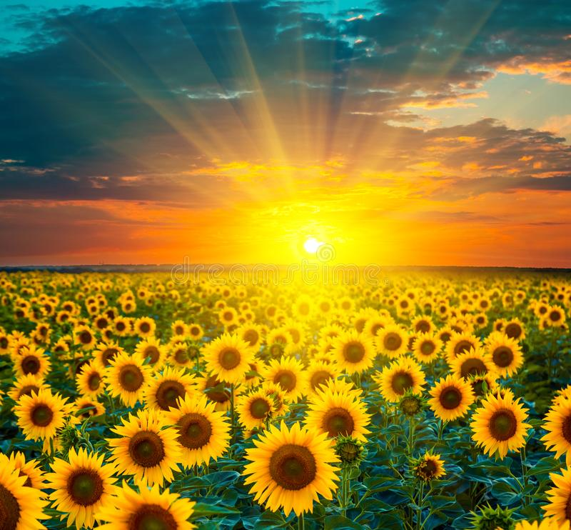 Free Sunflower Fields During Sunset. Beautiful Composite Of A Sunrise Royalty Free Stock Photo - 101549985