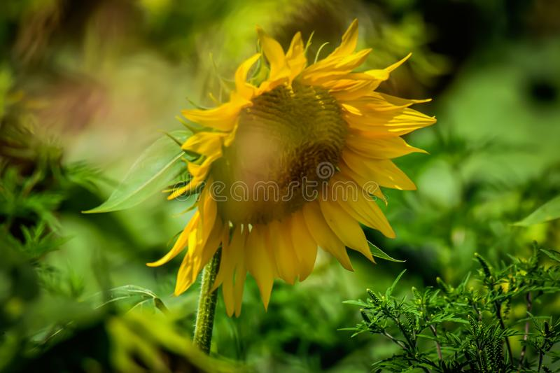 Sunflower fields of gold. Noon, head royalty free stock photos