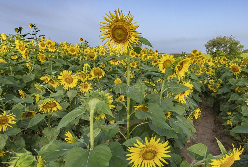 Sunflower fields in louisiana royalty free stock photos