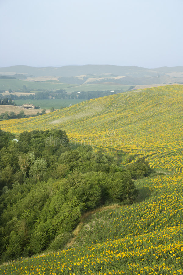 Download Sunflower Fields On Rolling Hills. Stock Image - Image: 2042051