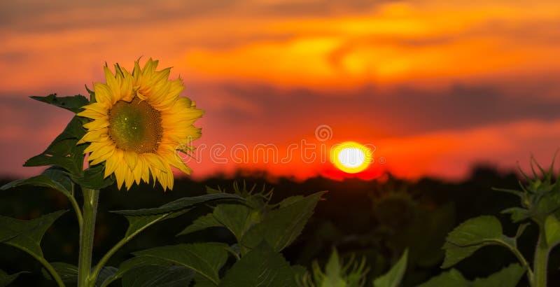 Sunflower fields in summer stock images