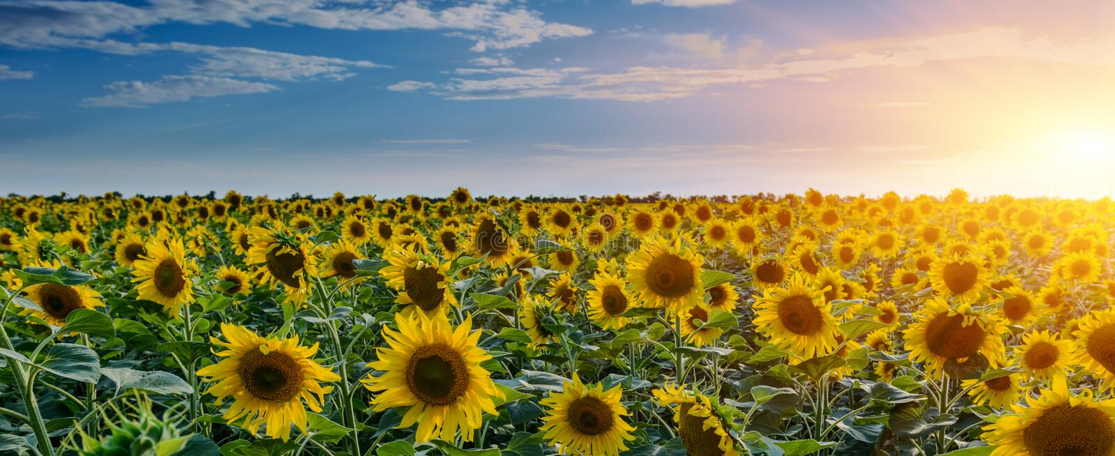 Sunflower fields during sunset. Digital composite of a sunrise over a field of golden yellow sunflowers stock images