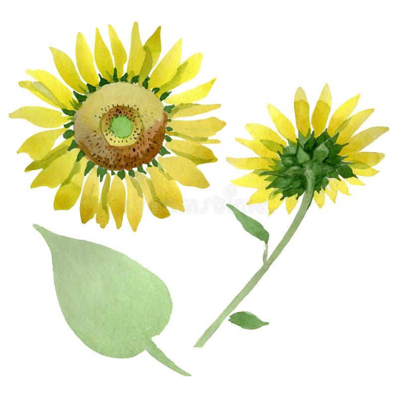 Sunflower floral botanical flowers. Watercolor background illustration set. Isolated sunflower illustration element. Sunflower floral botanical flowers. Wild stock photos