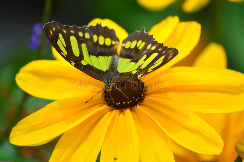 Sunflower and Florida Malachite Butterfly royalty free stock images