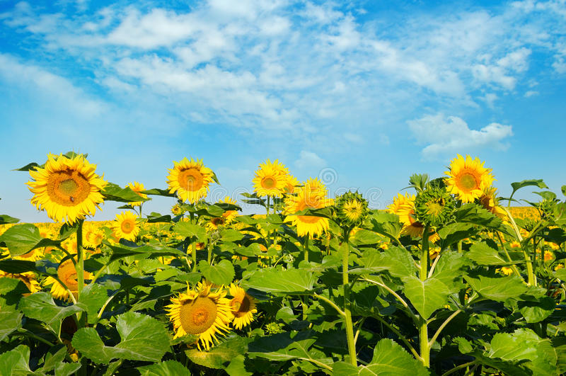 Sunflower flower against the blue sky. And a blossoming field royalty free stock images