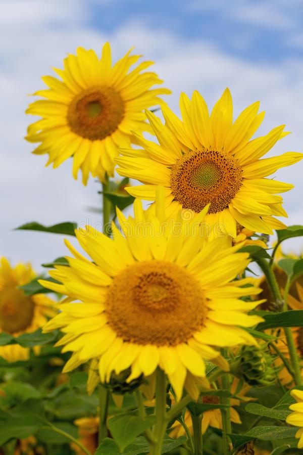 Sunflower flower on a background of blue sky royalty free stock image