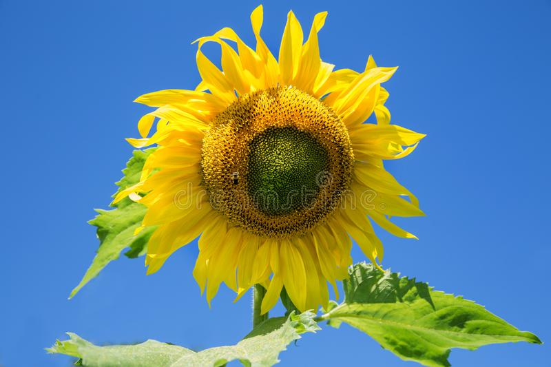 Sunflower flower with bee summer day. Blue sky royalty free stock photos