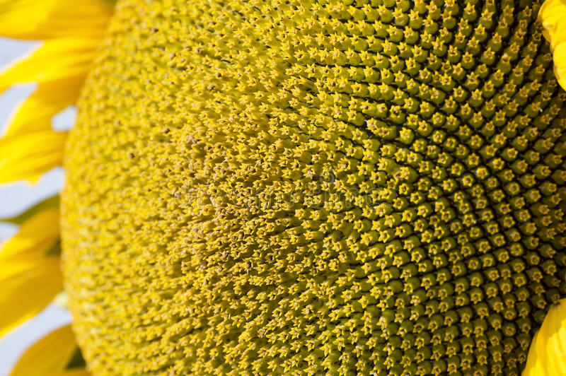 Sunflower flower center. Close up royalty free stock images