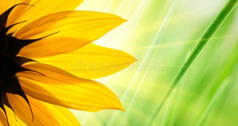 Sunflower flower. Green floral background stock photos