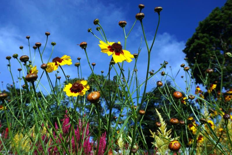 Sunflower garden. Sunflower flower growing sirao garden cebu philippies tourist spot colorful beautiful green yellow red blue sky trees stock photography