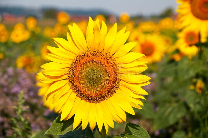 Sunflower flower head sticks out in a field full of sunflowers royalty free stock image