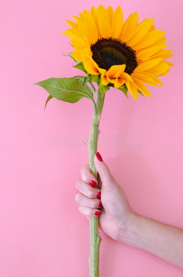 Free Sunflower Flower In Woman Hand On Pink Background Royalty Free Stock Image - 145923636