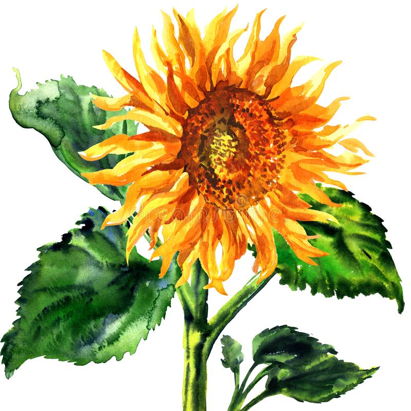 Sunflower, flower with leaves, seeds and oil agriculture, isolated, hand drawn watercolor illustration on white royalty free illustration