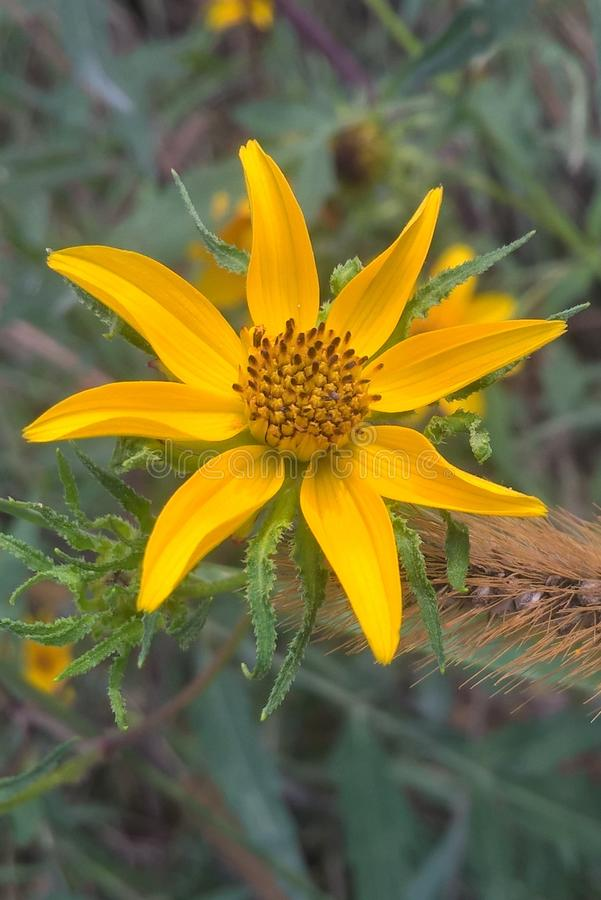 Sunflower. This flower is part of the aster family named tickseed sunflower. They grow wild in the countryside and along roadsides in Oklahoma. Even with a name stock photography