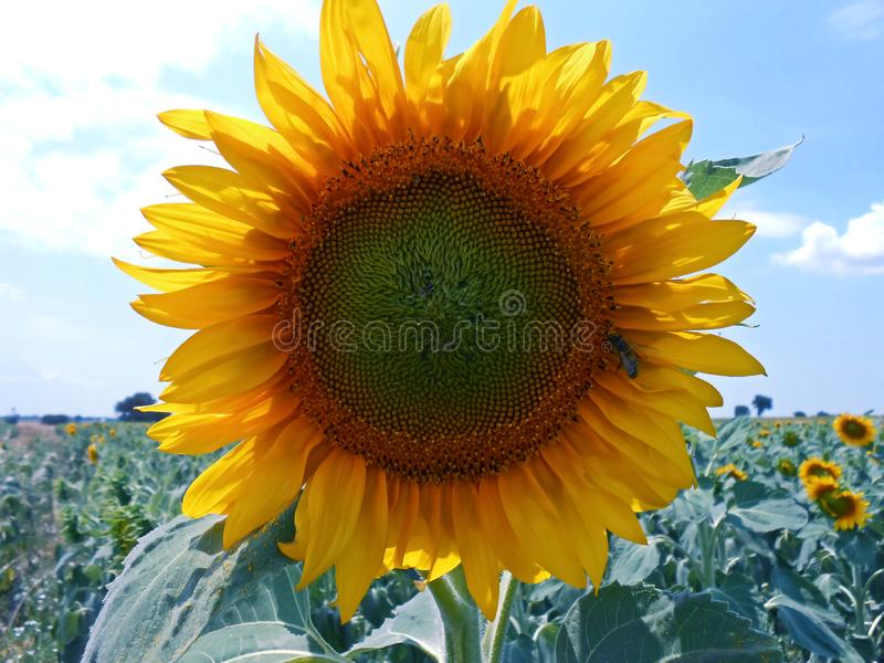 Sunflower flower plant. Sunflower field, follow the sun plant royalty free stock photo