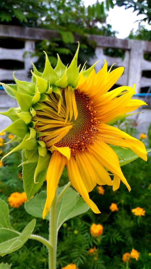 Sunflower. Flower is a single flower. Flowering at the apex. The flower is a perfect flower. The flowers are large, dark yellow. The flowers are about 25-30 stock photography