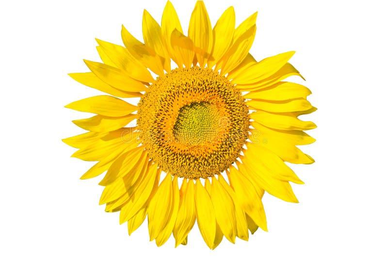 Sunflower flower on white background, close up. Flower of sunflower isolated on white background, close up stock photo