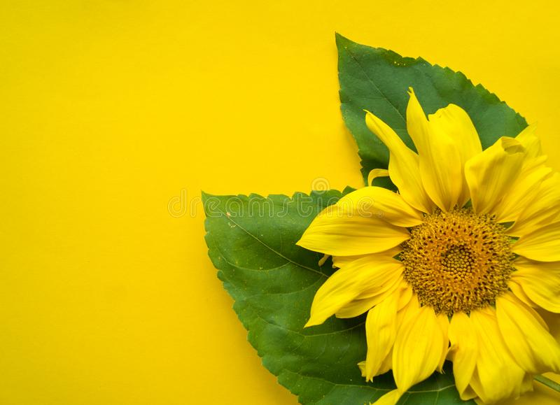 Sunflower flower on a yellow background royalty free stock photo