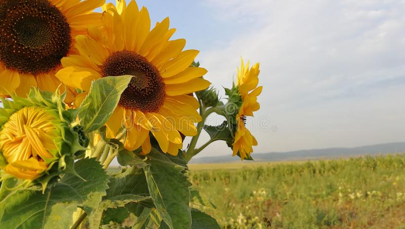 Sunflower, Flower, Yellow, Field stock images