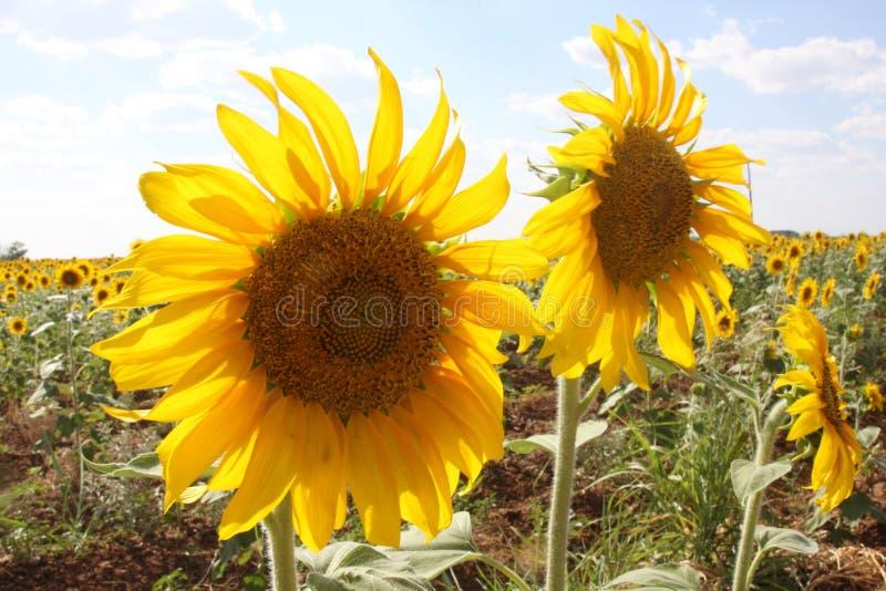 Sunflower, Flower, Yellow, Field Free Public Domain Cc0 Image