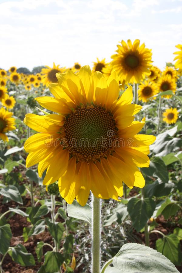 Sunflower, Flower, Yellow, Flowering Plant Free Public Domain Cc0 Image