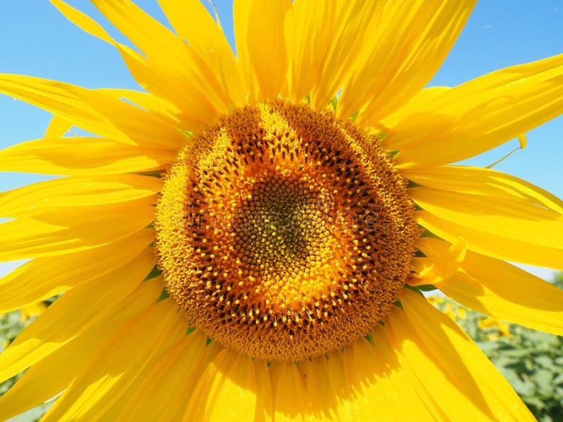 Sunflower, Flower, Yellow, Sunflower Seed royalty free stock photo