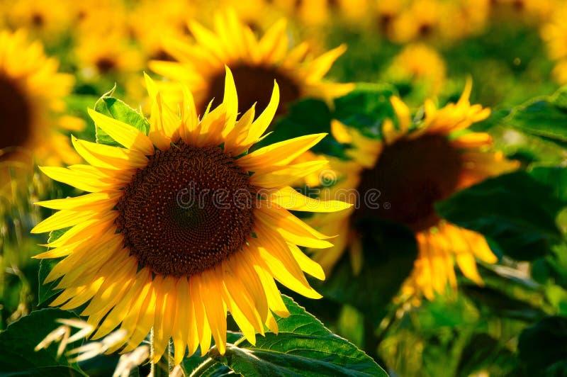 Sunflower, Flower, Yellow, Sunflower Seed stock photos
