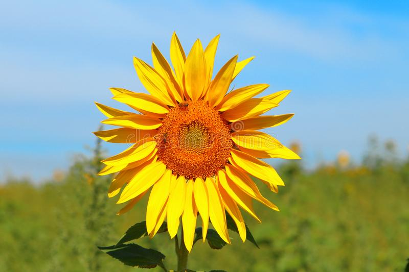 Sunflower flower yellow sky blue brazil  nova odessa são paulo royalty free stock images
