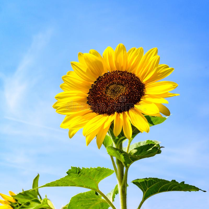 Sunflower head in full bloom. Sunflower flowering on bright summer day with blue sky royalty free stock photo