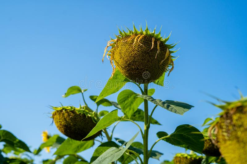 Sunflower after flowering on the field big. Basket close-up stock image