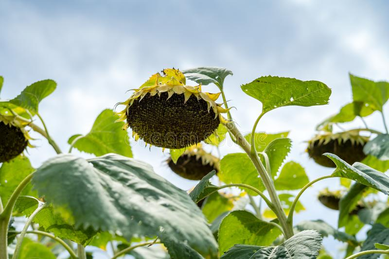 Sunflower after flowering on the field big. Basket close-up stock photos
