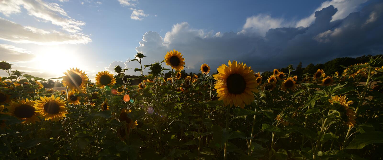 Sunflower flowers against a dark evening sky. Backlit royalty free stock image